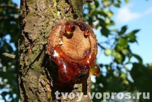 Камедь выделяется из повреждения на дереве